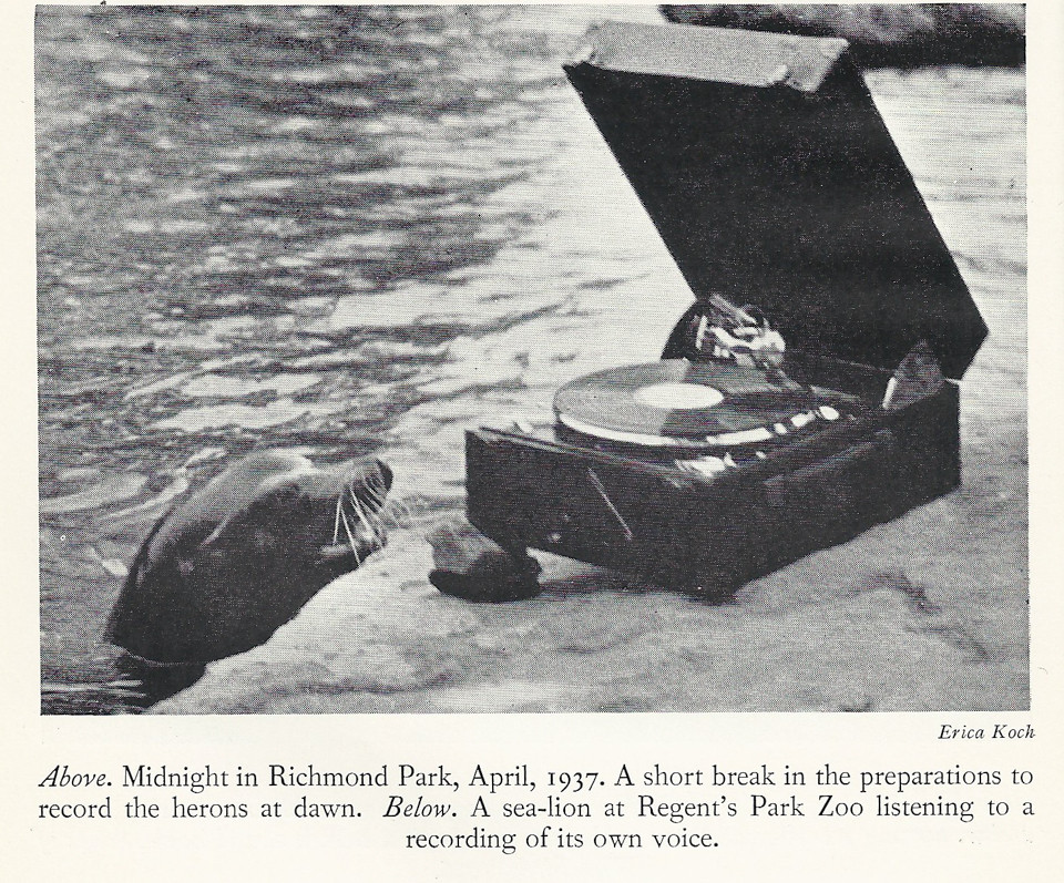 "A sea-lion at Regent's Park Zoo, listening to a recording of its own voice (image from ""Memoirs of a BIrdman"" by Ludwig Koch)"
