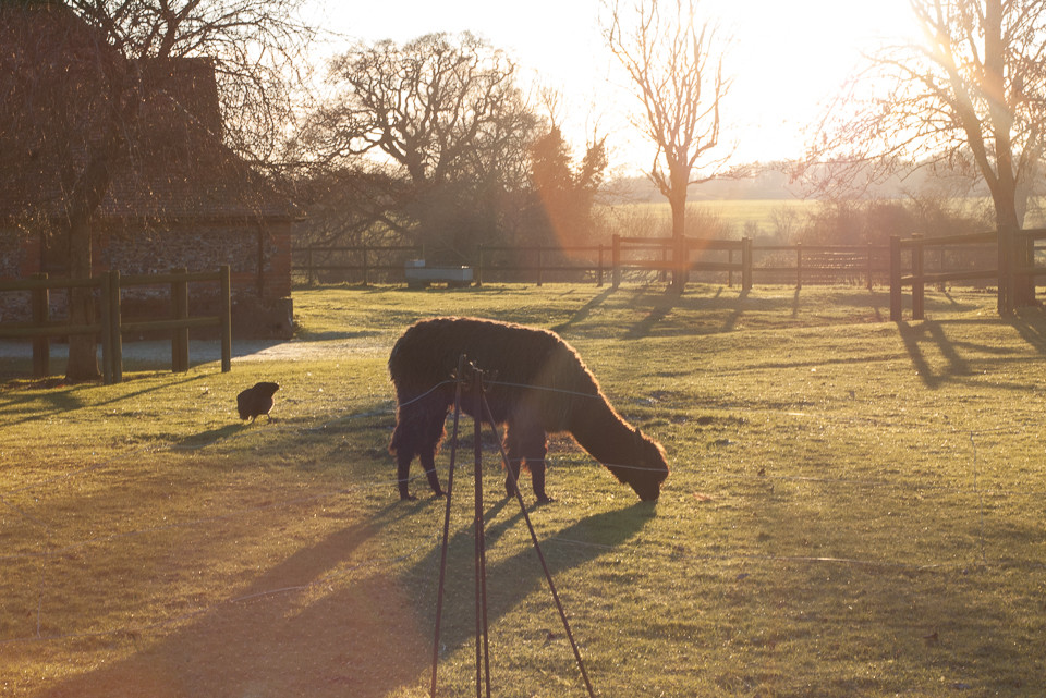 Alpaca in the golden afternoon light